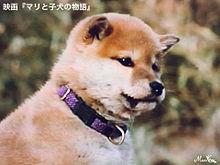 柴犬3の画像(プリ画像)