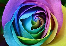 バラ レインボーローズの画像(レインボーローズに関連した画像)