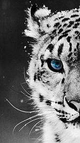 白虎 ホワイトタイガー 神秘的 青い瞳の画像(青い瞳に関連した画像)