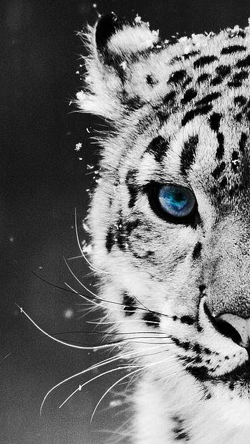 白虎 ホワイトタイガー 神秘的 青い瞳の画像 プリ画像