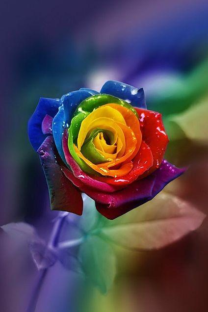 レインボーローズ 神秘的 幻想的 虹色の画像 プリ画像