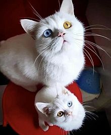 猫 白猫の画像(白猫 オッドアイに関連した画像)