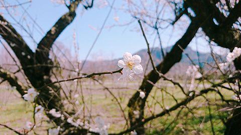 梅と桃の花 綺麗ですねの画像(プリ画像)
