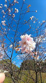 空と桜 プリ画像