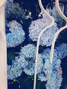 紫 陽 花の画像(プリ画像)