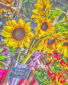 向日葵の画像(花畑に関連した画像)