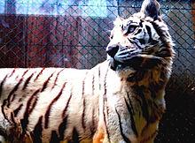 白虎の画像(プリ画像)