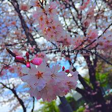 桜の季節ですねの画像(プリ画像)