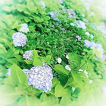あじさい・紫陽花・お花の画像(あじさいに関連した画像)
