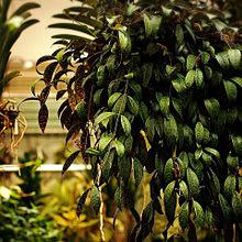 おしゃれな観葉植物の画像(観葉植物に関連した画像)