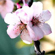アーモンドの花 きれいの画像(アーモンドに関連した画像)