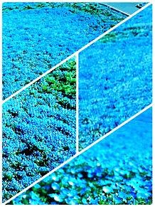 ネモフィラ畑 おしゃれの画像(ネモフィラに関連した画像)
