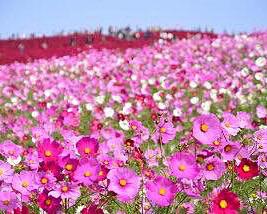 コスモス 秋桜の画像 プリ画像