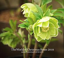 クリスマスローズ オザキフラワーパークの画像(クリスマスに関連した画像)