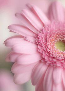 最新iphone ピンク の ガーベラ 待ち受け 最高の花の画像