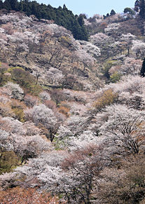吉野山の美しい桜 奈良県  ハートいいねを押してねの画像(奈良県に関連した画像)
