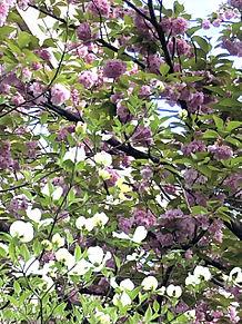 八重桜とハナミズキ  ハートのいいねを押してね!の画像(ハナミズキに関連した画像)