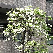 ハナミズキ 白 花水木  ハートいいねを押してね!の画像(ハナミズキに関連した画像)