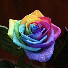 美しいレインボーローズ バラ  ハートいいねを押してね!の画像(レインボーローズに関連した画像)