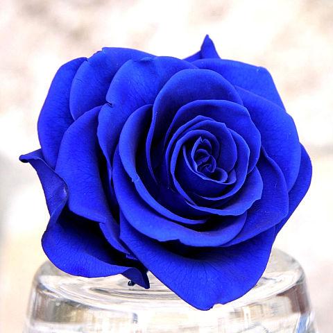 ブルーローズ 青い薔薇  ハートのいいねを押してね!の画像 プリ画像