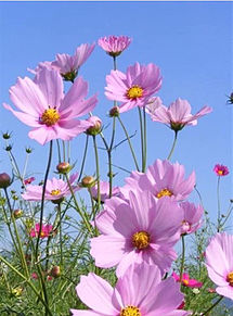 コスモス 秋桜の花  ハートのいいねを押してね!の画像(コスモスに関連した画像)