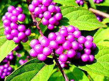 ムラサキシキブ 紫式部  画像右下のハートを押してね!の画像(紫 ハートに関連した画像)