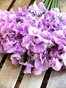 紫色のスイトピー 写真右下のハートを押してねの画像(紫色に関連した画像)