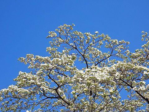 ハナミズキ 花水木 写真右下のハートを押してねの画像 プリ画像