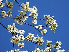 ハナミズキ 花水木 写真右下のハートを押してねの画像(ハナミズキに関連した画像)