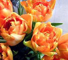オレンジ色のチューリップ 写真右下のハートを押してねの画像(オレンジに関連した画像)