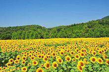 ヒマワリ畑  向日葵  写真右下のハートを押してねの画像(ヒマワリに関連した画像)