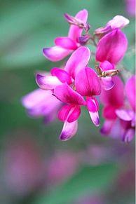 ハギ  萩の花  写真右下のハートを押してねの画像(ハギに関連した画像)