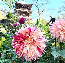 ダリア  上野東照宮  写真右下のハートを押してねの画像(上野に関連した画像)