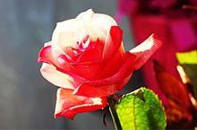赤白のレインボーローズ  写真右下のハートを押してねの画像(レインボーローズに関連した画像)
