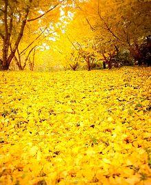 紅葉、黄葉の落ち葉  写真右下のハートを押してねの画像(落ち葉に関連した画像)