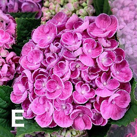 アジサイ  紫陽花  ポップコーン  写真右下のハートを押してねの画像 プリ画像