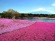 シバザクラ  芝桜  写真右下のハートを押してねの画像(ザクラに関連した画像)
