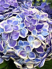 アジサイ  紫陽花  写真右下のハートを押してねの画像(紫陽花に関連した画像)