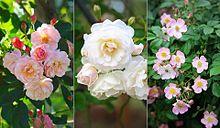 バラ  薔薇  写真右下のハートを押してね プリ画像