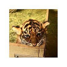 子虎のおくちの画像(プリ画像)