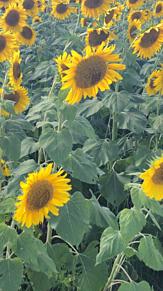 ひまわり畑の画像(ひまわり畑に関連した画像)