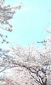 春 桜 満開です 景色の画像(満開に関連した画像)