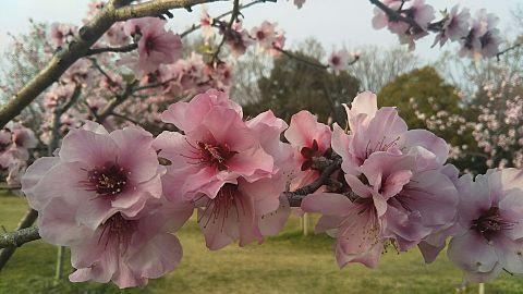 桜✿*❀٭✿*❀٭の画像 プリ画像