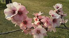 桜✿*❀٭✿*❀٭ プリ画像