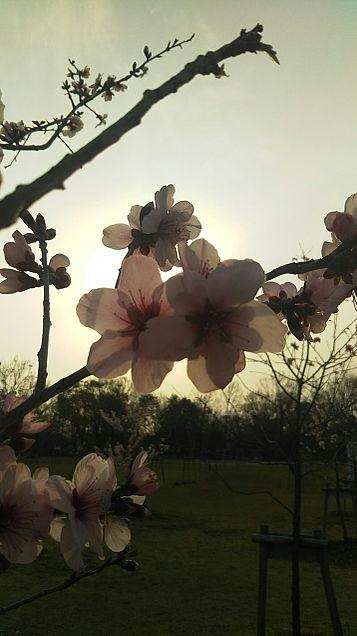 桜✿*❀٭✿*❀٭の画像(プリ画像)