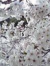 桜 お花見!したい  風景 プリ画像
