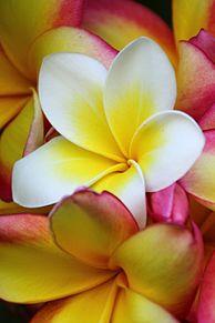 壁紙*花の画像(プリ画像)