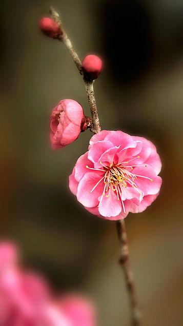 壁紙*梅の花の画像 プリ画像