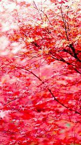 赤紅葉の画像(プリ画像)