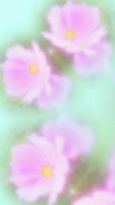 風に揺れる秋桜の画像(秋 壁紙に関連した画像)